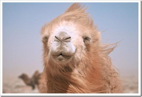 Camel....