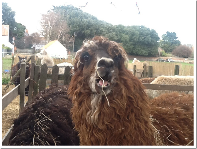 Alpaca at North Norfolk....